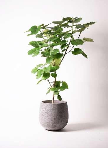 観葉植物 フィカス ウンベラータ 10号 エコストーンGray 付き