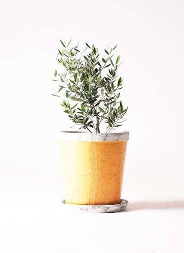 観葉植物 オリーブ コロネイキ6号 アンティークテラコッタOrange 付き