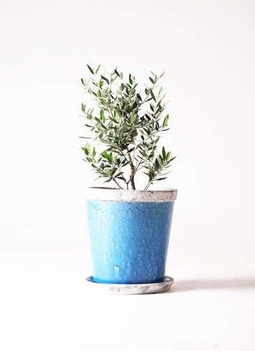 観葉植物 オリーブ コロネイキ6号 アンティークテラコッタBlue 付き