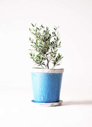 観葉植物 オリーブの木 6号 コロネイキ アンティークテラコッタBlue 付き