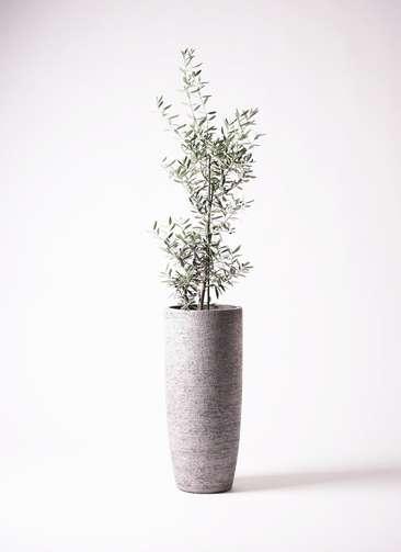 観葉植物 オリーブ チプレッシーノ 8号 エコストーントールタイプ Gray 付き