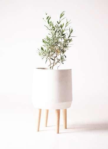 観葉植物 オリーブ 6号 チプレッシーノ ファイバークレイ white 付き