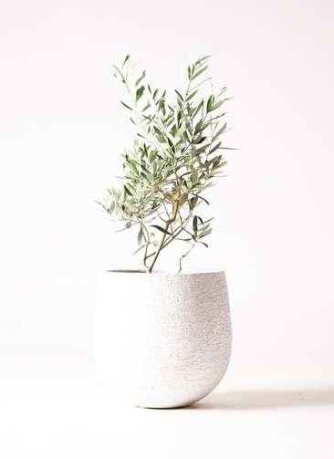 観葉植物 オリーブ 6号 チプレッシーノ エコストーンwhite 付き