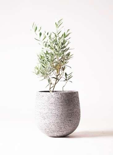 観葉植物 オリーブ 6号 チプレッシーノ エコストーンGray 付き