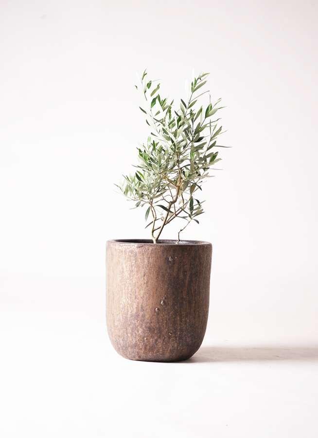 観葉植物 オリーブの木 6号 チプレッシーノ ビトロウーヌム コッパー釉 付き