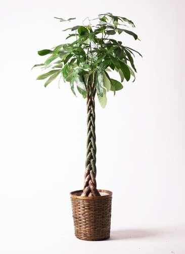 観葉植物 パキラ 10号 竹バスケット 付き