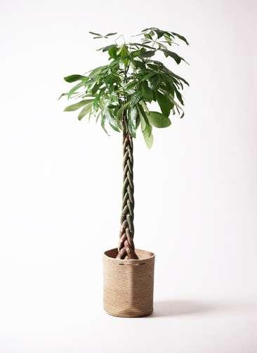 観葉植物 パキラ 10号 ねじり リブバスケットNatural 付き