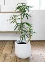 観葉植物 シェフレラ アンガスティフォリア 曲り8号 エコストーンwhite 付き