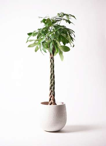 観葉植物 パキラ 10号 エコストーンwhite 付き