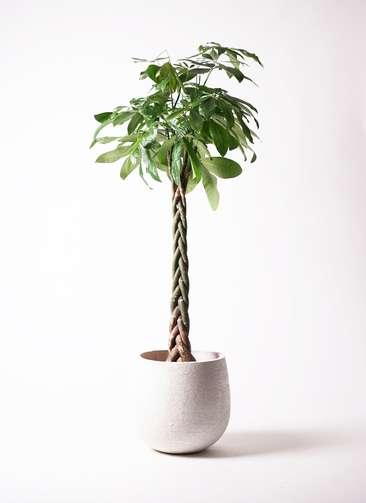観葉植物 パキラ 10号 ねじり エコストーンwhite 付き