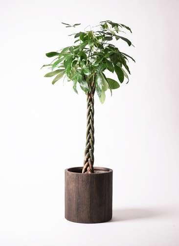 観葉植物 パキラ 10号 アルファシリンダープランター 付き