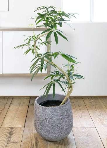 観葉植物 シェフレラ アンガスティフォリア 曲り8号 エコストーンGray 付き