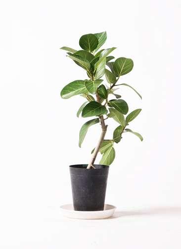 観葉植物 フィカス ベンガレンシス 6号 ストレート プラスチック鉢