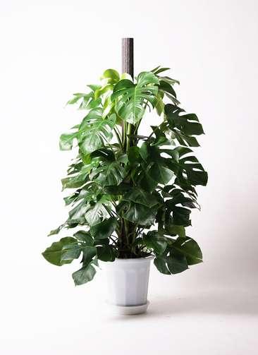 観葉植物 モンステラ 10号 ボサ造り プラスチック鉢