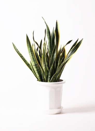 観葉植物 サンスベリア 10号 トラノオ プラスチック鉢