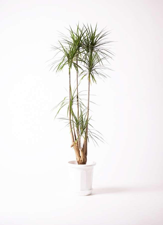 観葉植物 ドラセナ コンシンネ 10号 プラスチック鉢
