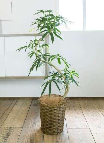 観葉植物 シェフレラ アンガスティフォリア 曲り8号 竹バスケット付き