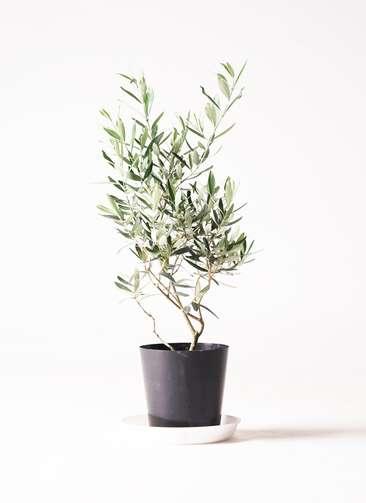 観葉植物 オリーブ 6号 チプレッシーノ プラスチック鉢