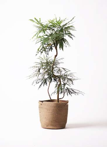 観葉植物 グリーンアラレア 曲り8号 リブバスケットNatural 付き