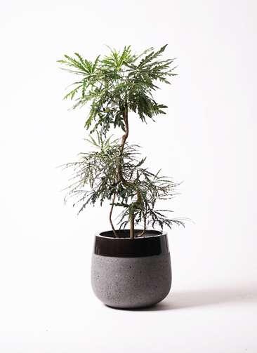 観葉植物 グリーンアラレア 曲り8号 ファイバーストーンタウルス 黒 付き
