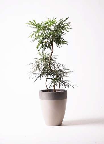 観葉植物 グリーンアラレア 曲り8号 ファイバーストーンカプリ サンディホワイト 付き