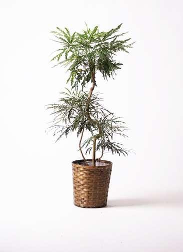 観葉植物 グリーンアラレア 曲り8号 竹バスケット 付き