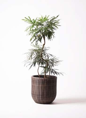 観葉植物 グリーンアラレア 曲り8号 ウィッカーポットエッグ 茶 付き