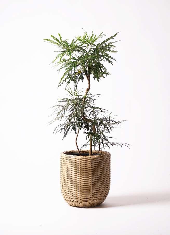 観葉植物 グリーンアラレア 8号 曲り ウィッカーポットエッグ ベージュ 付き