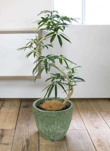 観葉植物 シェフレラ アンガスティフォリア 曲り8号 アビスソニア ミドル 緑 付き