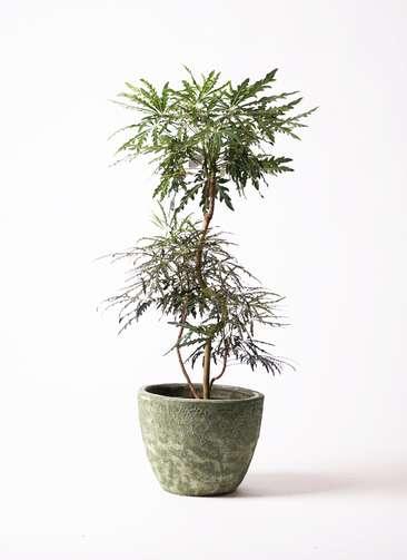 観葉植物 グリーンアラレア 8号 曲り アビスソニアミドル 緑 付き