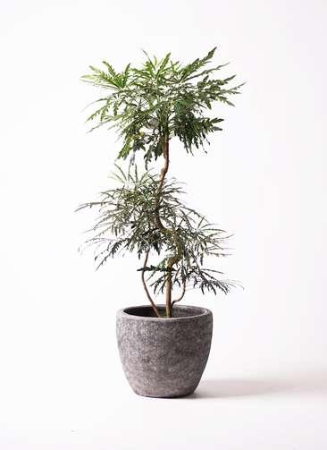 観葉植物 グリーンアラレア 曲り8号 アビスソニアミドル 灰 付き