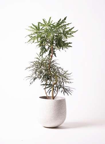 観葉植物 グリーンアラレア 曲り8号 エコストーンwhite 付き