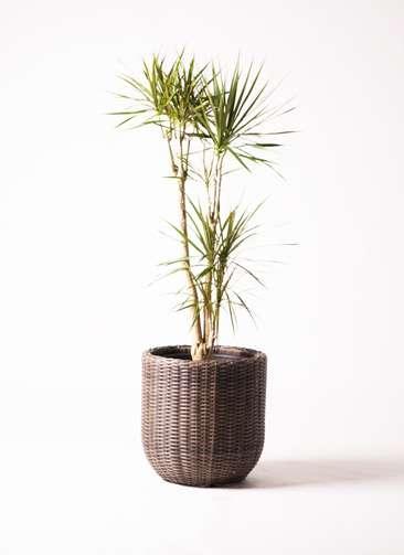 観葉植物 ドラセナ コンシンネ 8号 ウィッカーポット エッグ NT 茶 付き
