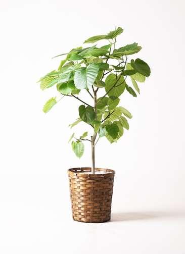 観葉植物 フィカス ウンベラータ 8号 竹バスケット 付き