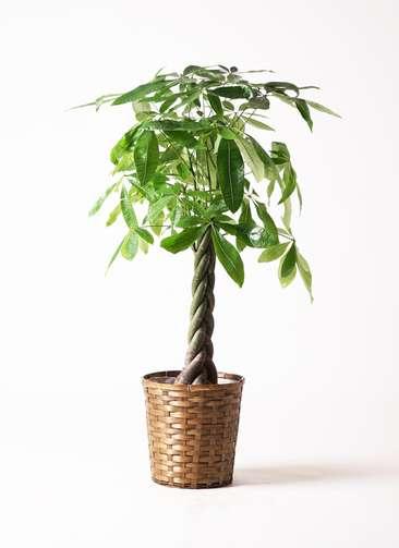 観葉植物 パキラ 8号 竹バスケット 付き