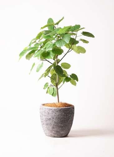観葉植物 フィカス ウンベラータ 8号 アビスソニア ミドル 灰 付き