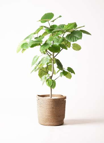 観葉植物 フィカス ウンベラータ 8号 リブバスケットNatural 付き