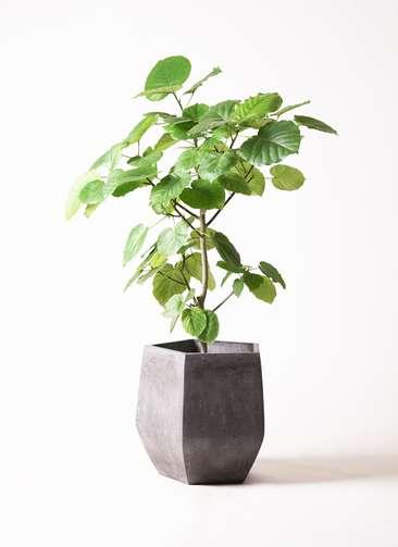 観葉植物 フィカス ウンベラータ 8号 ファイバークレイGray 付き