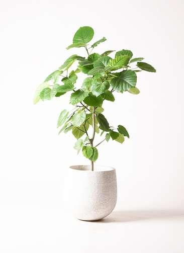 観葉植物 フィカス ウンベラータ 8号 エコストーンwhite 付き