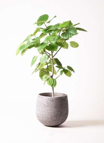 観葉植物 フィカス ウンベラータ 8号 ノーマル エコストーンGray 付き