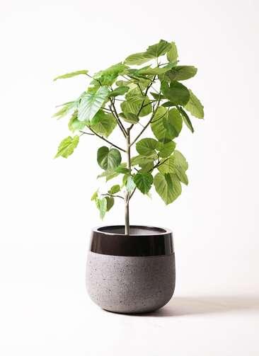 観葉植物 フィカス ウンベラータ 8号 ファイバーストーン タウルス ミドル 黒 付き