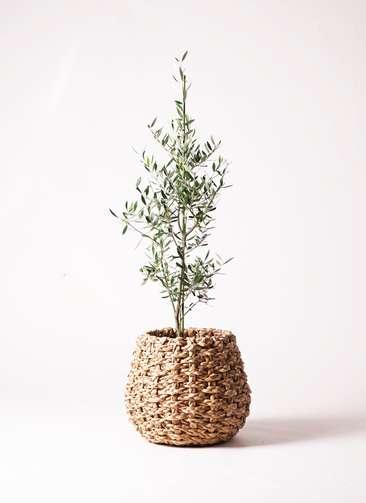 観葉植物 オリーブ コロネイキ8号 ラッシュバスケット 付き