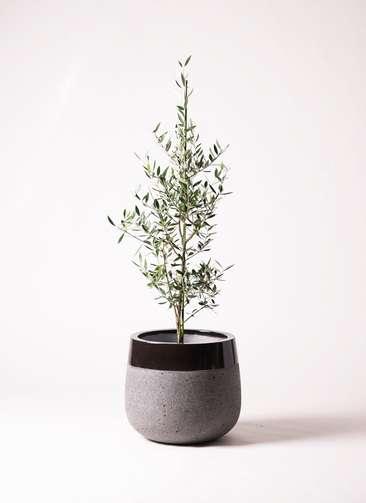 観葉植物 オリーブ コロネイキ8号 ファイバーストーンタウルス 黒 付き