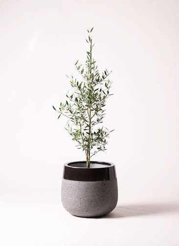 観葉植物 オリーブの木 8号 コロネイキ ファイバーストーンタウルス 黒 付き