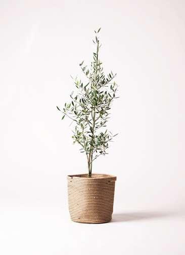 観葉植物 オリーブ コロネイキ8号 リブバスケットNatural 付き