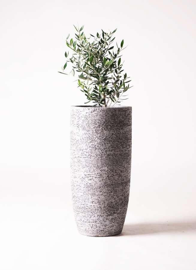 観葉植物 オリーブの木 6号 コロネイキ エコストーントールタイプ Gray 付き