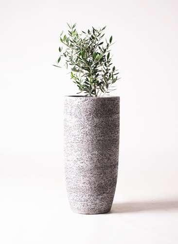観葉植物 オリーブ 6号 コロネイキ エコストーントールタイプ Gray 付き