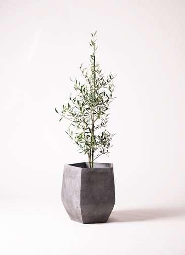 観葉植物 オリーブ コロネイキ8号 ファイバークレイ Gray 付き