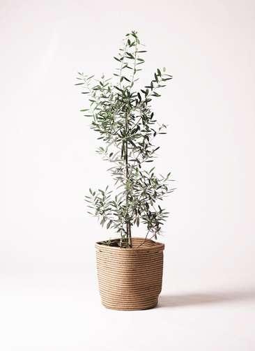 観葉植物 オリーブ 8号 チプレッシーノ リブバスケットNatural 付き