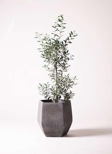 観葉植物 オリーブ チプレッシーノ 8号 ファイバークレイ Gray 付き